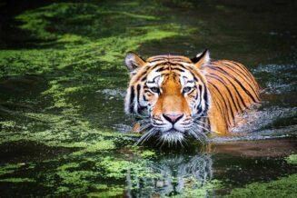 22 Ciekawostki, Fakty oraz Informacje o tygrysach